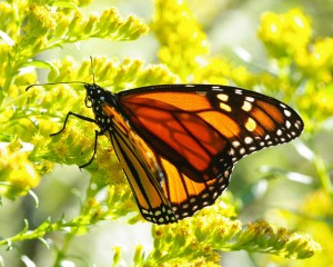 Monarch on Goldenrod. Photo: Bruce Bolin
